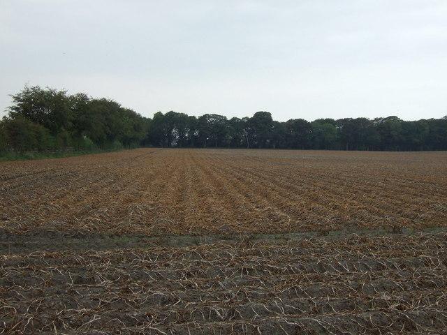 Potato crop off Mill Lane