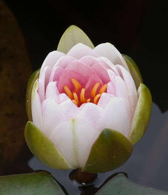 Water lily - opening bud