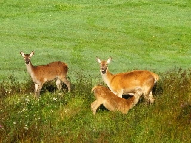 Red deer on Tarbert golf course