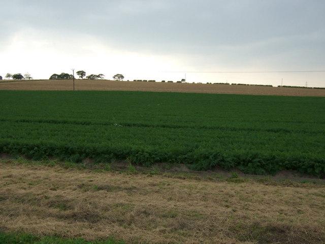 Crop field west of Houghtons Lane