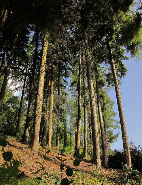 Conifers, Seaton valley