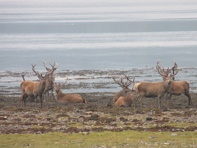 Stags on the shore of Loch Sunart