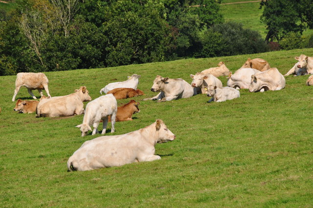 West Devon : Grassy Field & Cattle