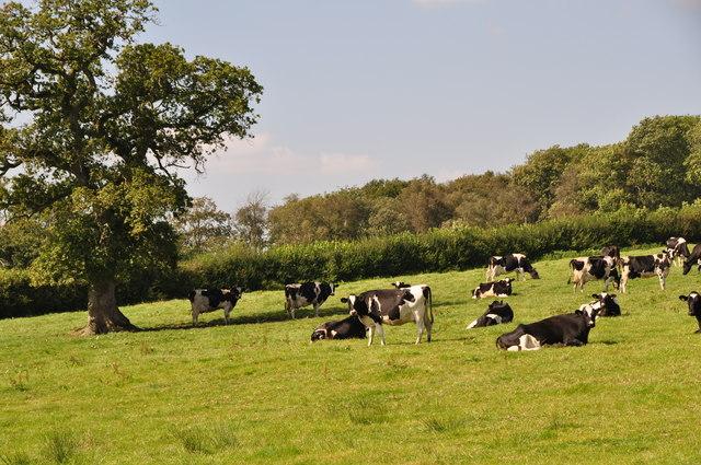 West Devon : Grassy Field & Cattle