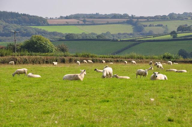 Torridge : Grassy Field & Sheep