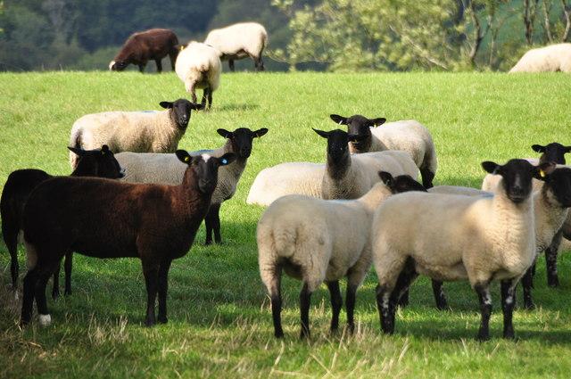 Mid Devon : Grassy Field & Sheep