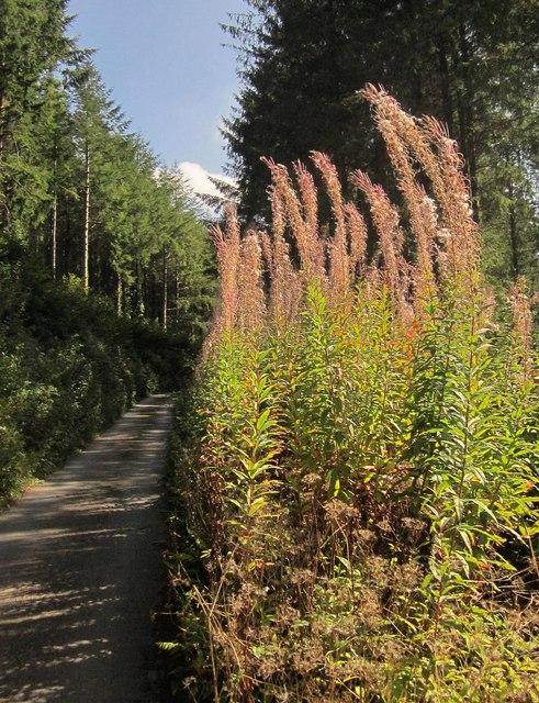 Fireweed near the Seaton
