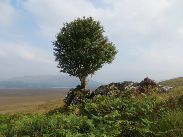 Rowan tree growing from small crag on Cnoc Ban