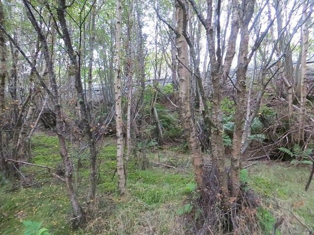Birch wood and Highland Railway