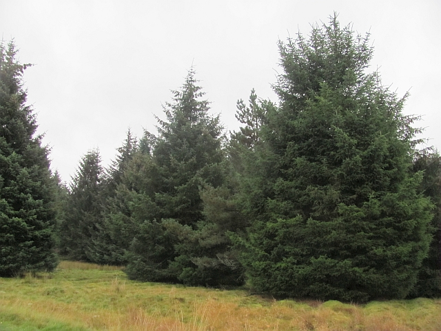 Conifer plantation, Tomatin
