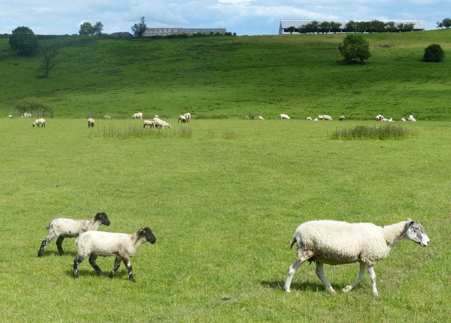 Sheep in a field at Launde Cross Roads
