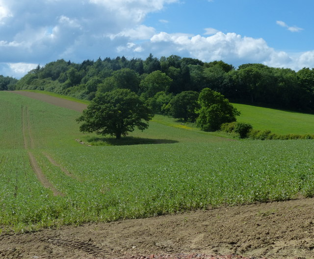 Round Hill Spinney viewed from Wood Lane