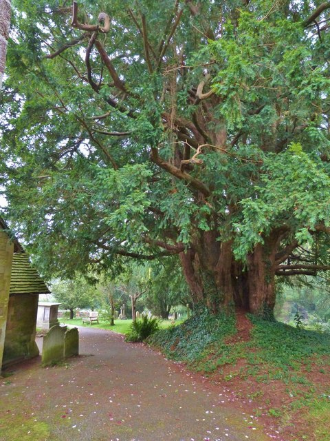 Ancient Yew tree, Fittleworth parish church