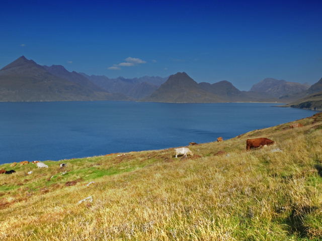 Cattle north of Elgol