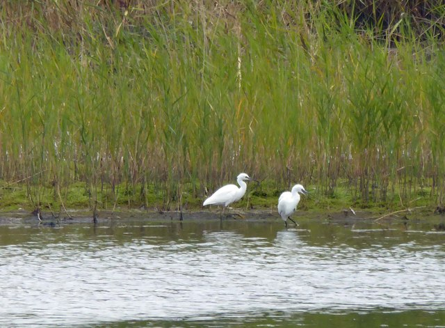 Two Little Egrets at RSPB Old Moor