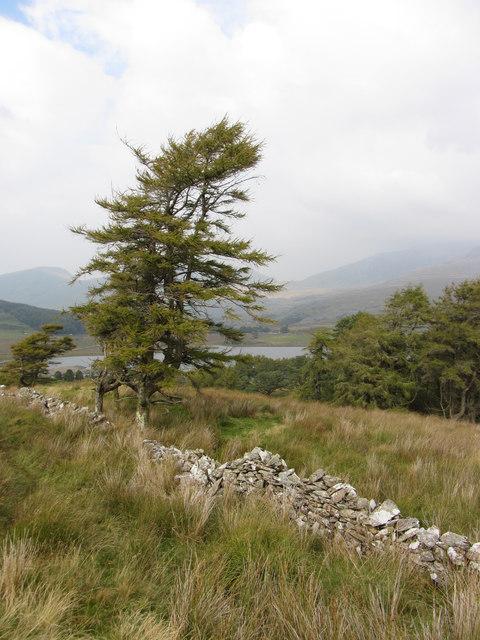 Tree on edge of Beddgelert Forest