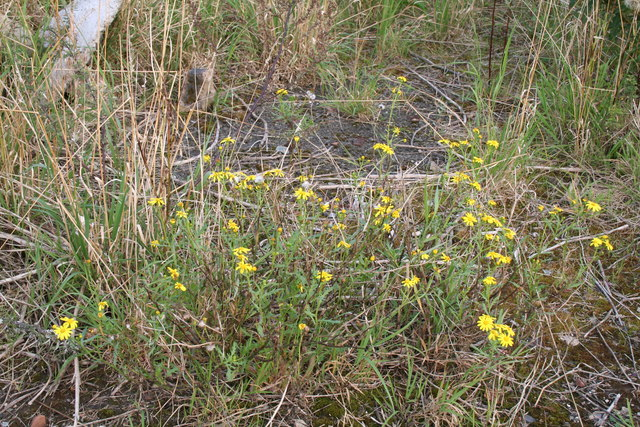 Newcraighall:  Ragwort growing on waste ground