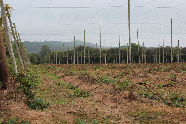 Hop field at Ankerdine Farm