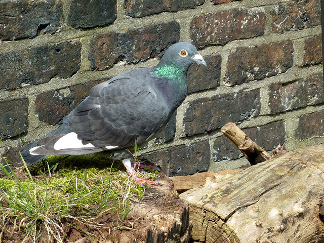 Resting pigeon by Hall Green Lock, Cheshire