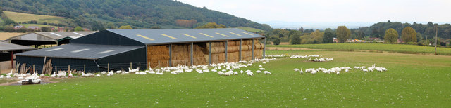 Goose farming, Home Farm Lane