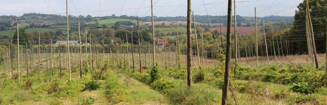 Hop Field near Orleton Court
