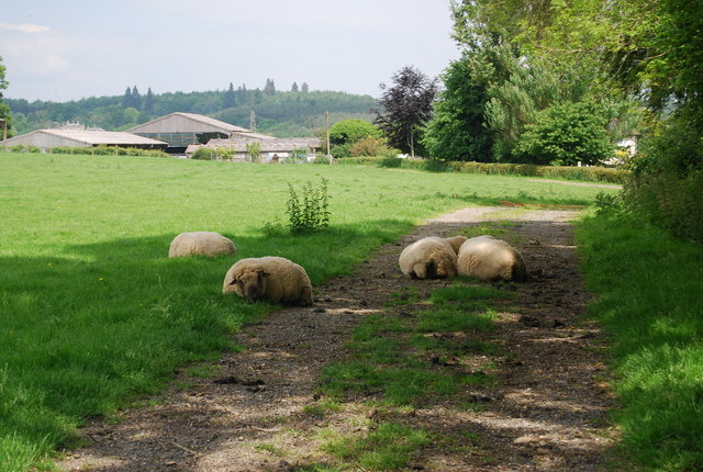 Sheep on the footpath