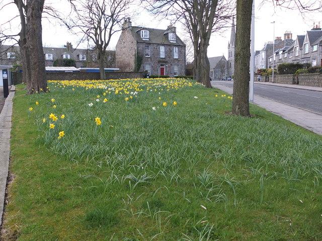 Daffodils, Abbotsford Place, Aberdeen