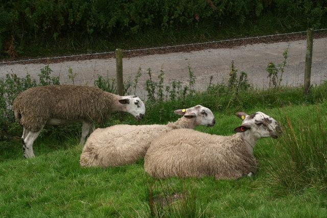 Distinctive sheep near Crowden Brook