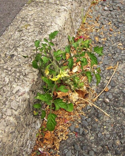 Tomato plant, Chatto Road, Torquay