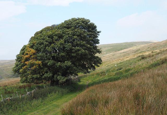 Trees below Grisedale Brow