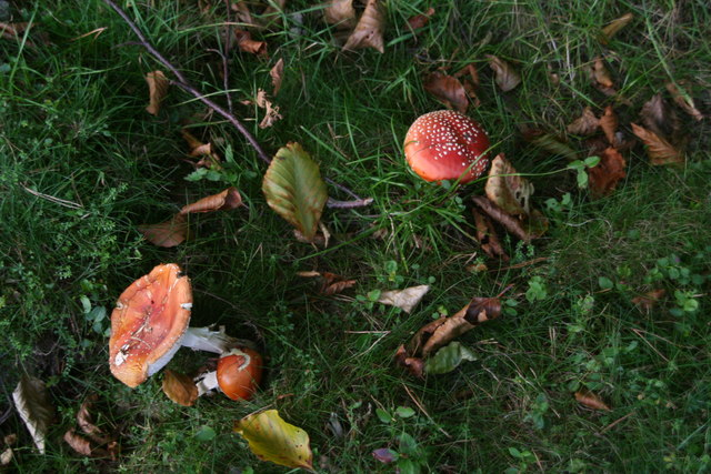 Mushrooms in coniferous woodland next to Old House