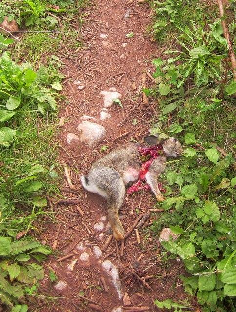 Dead rabbit, Ridge Road
