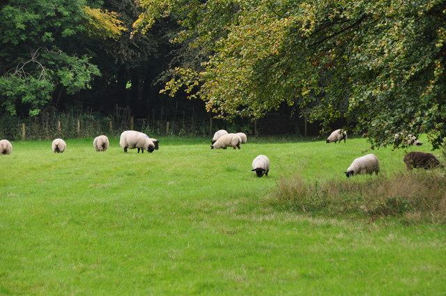 West Somerset : Grassy Field & Sheep