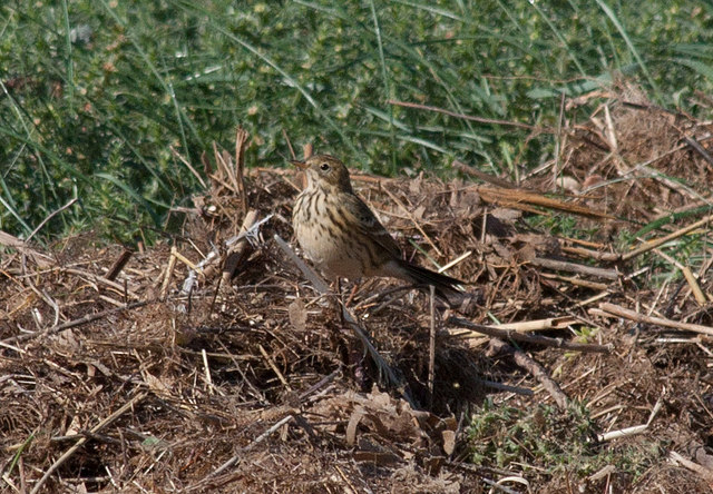 Well-camouflaged Meadow Pipit