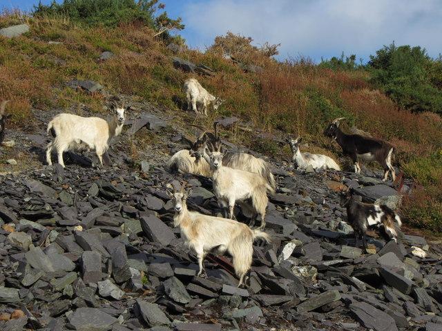 Mountain goats in Dironwic Quarry