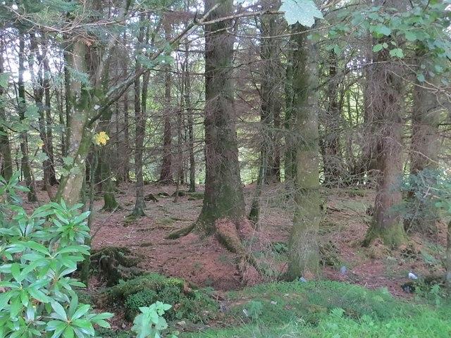 Conifer woods, St Ann's