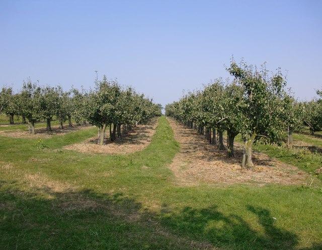 Pear orchard near Dux Court