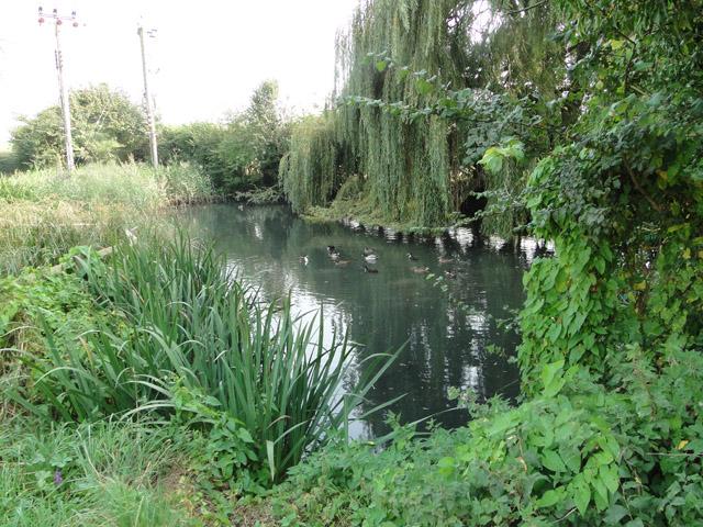 Ducks on a pond at Gulpher Farm