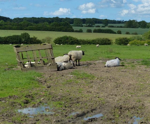 Sheep near Illston on the Hill
