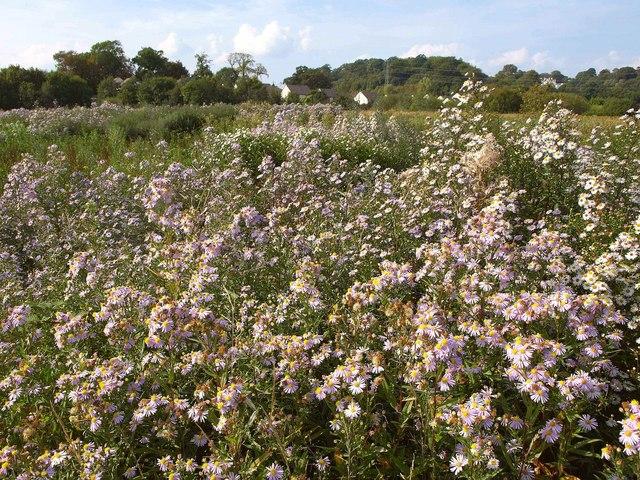 Michaelmas daisies, Nightingale Park