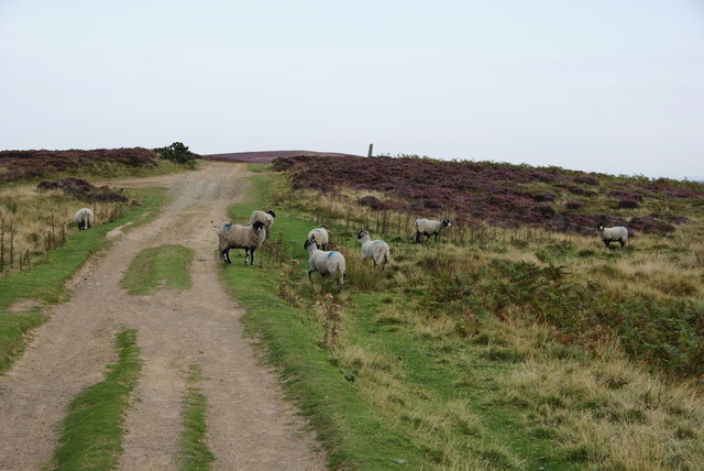 Sheep on Glaisdale Rigg