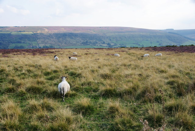 Sheep on Glaisdale Low Moor