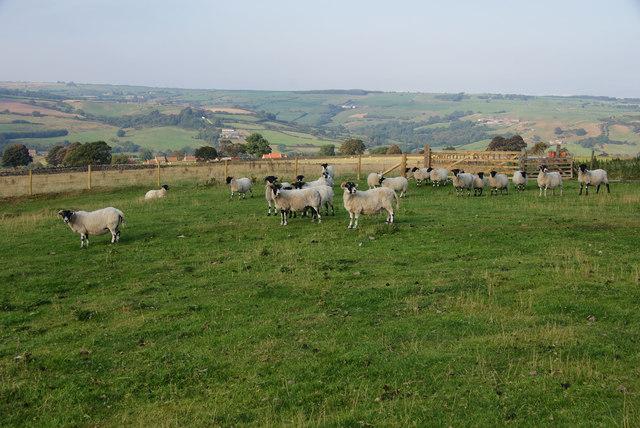Sheep near Glaisdale