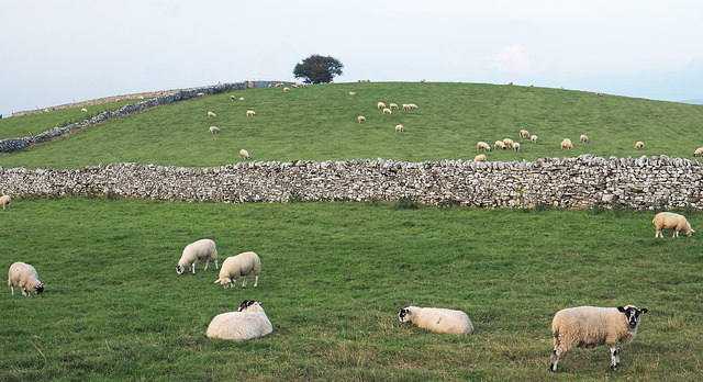 Sheep in field beside minor road
