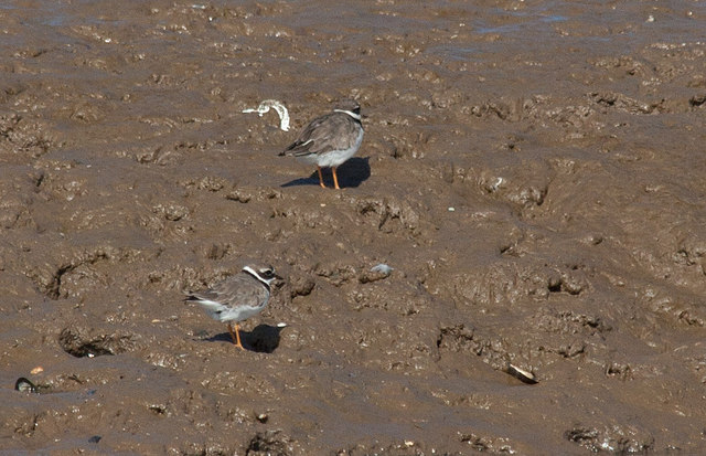 Ringed plovers in the tidal mud