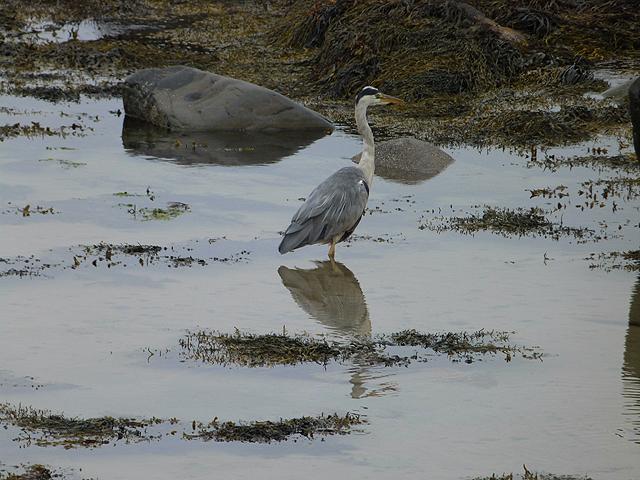 Heron on the shore at Kilnaughton Bay