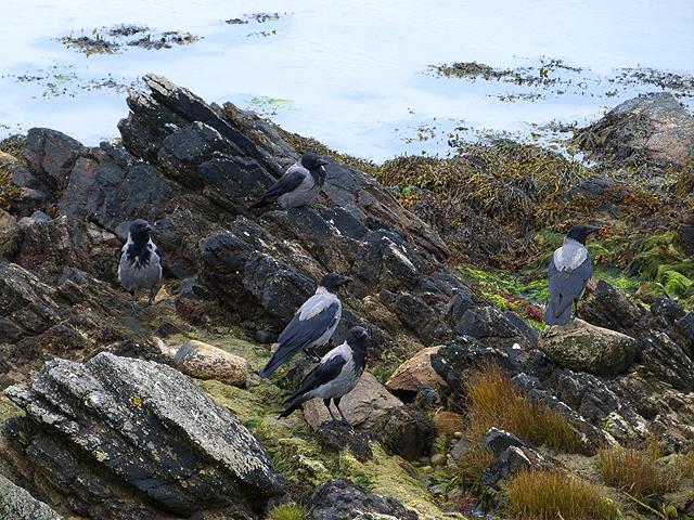Hooded crows at Kilnaughton Bay