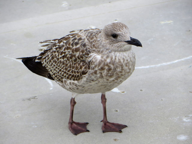 Juvenile herring gull at Margate