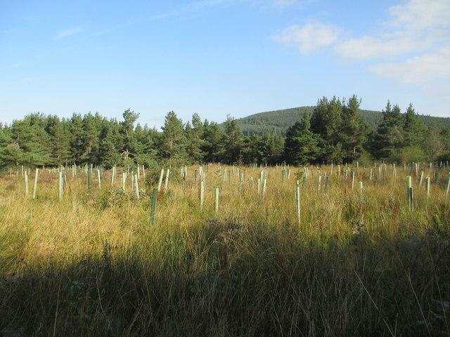 Tree plantation near Lethendry