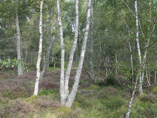 Birch woods, Insh